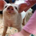 Uso de antibióticos em animais preocupa FDA