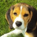 Cães e os benefícios para a saúde humana