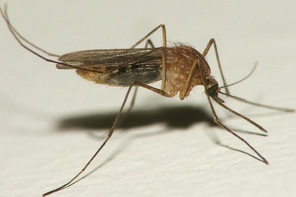 Pernilongo doméstico tem potencial de transmissão de Zika